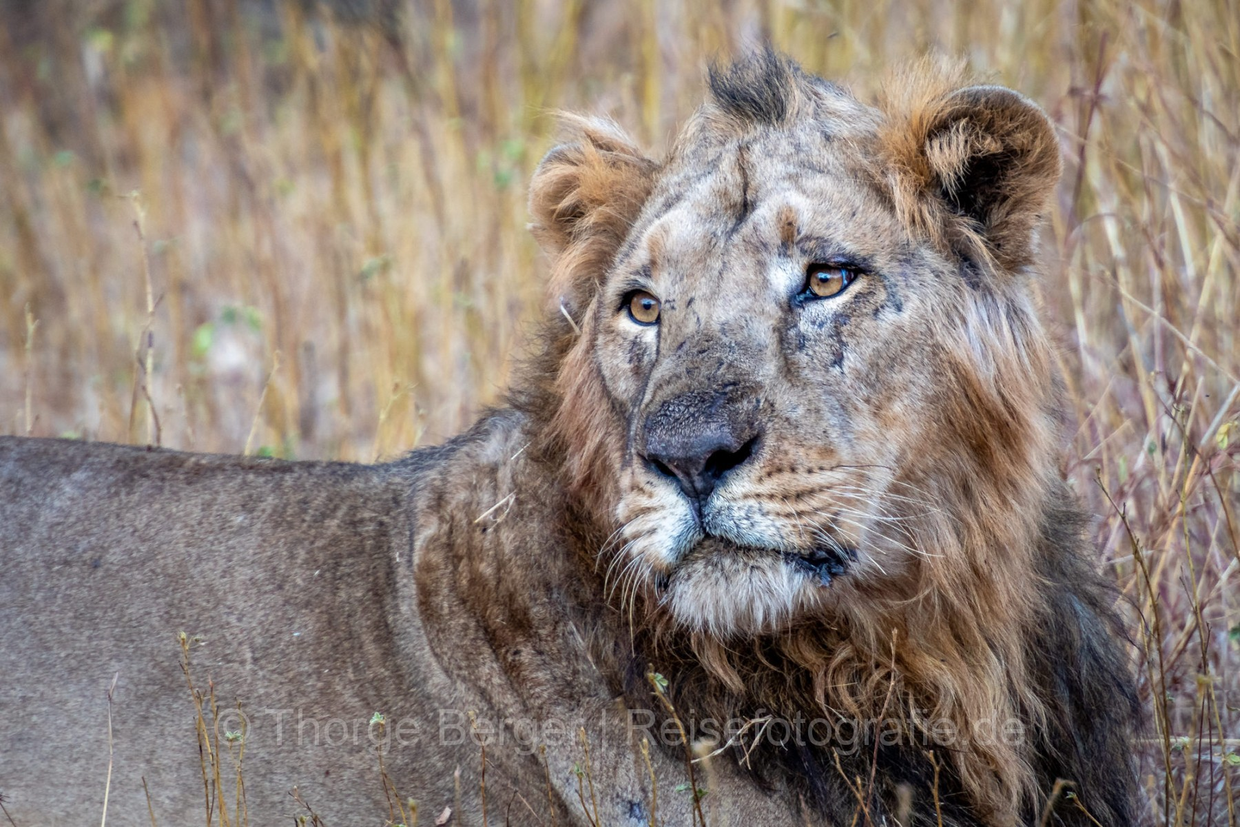 Asian Lion in Gir National Park