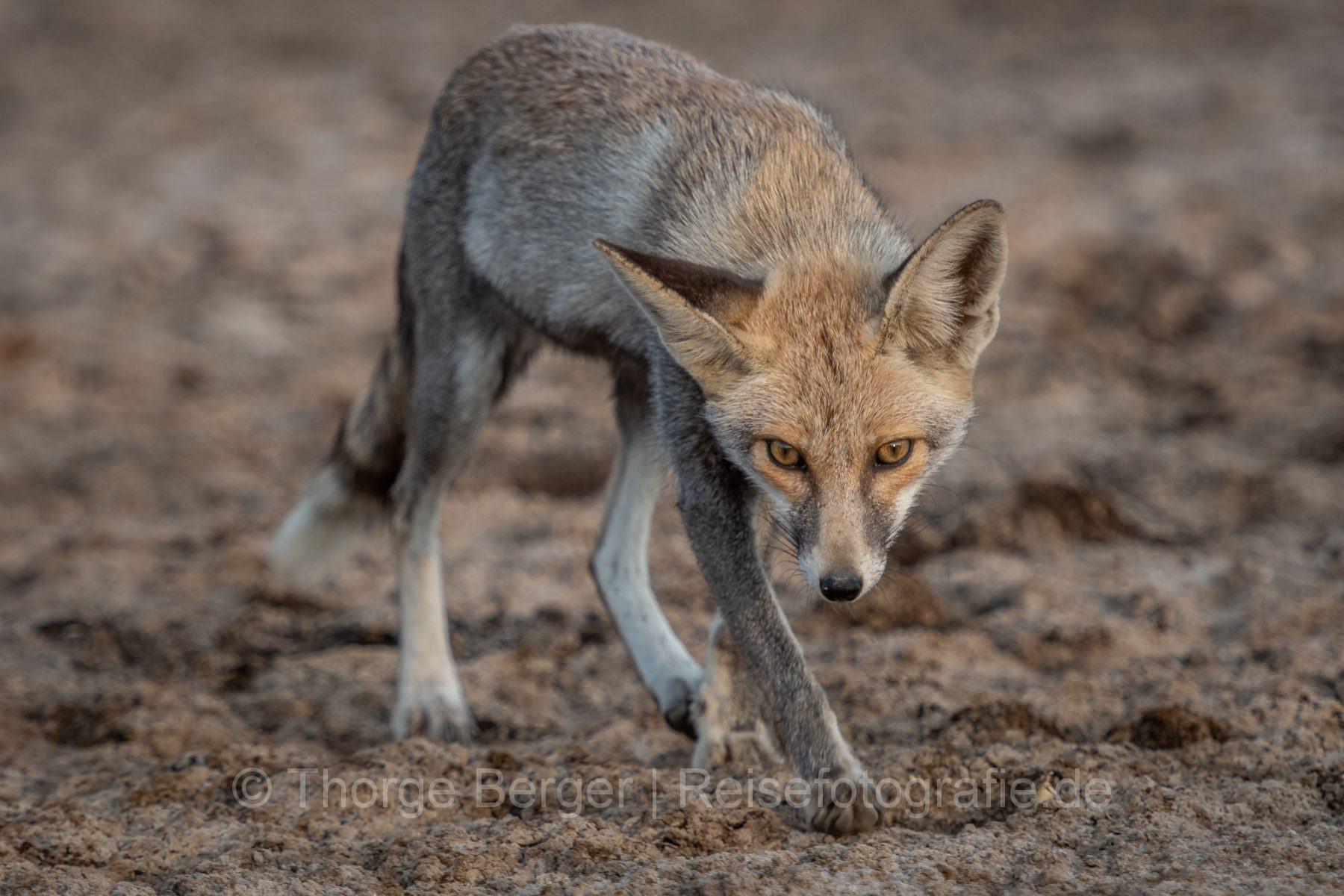Dessert Fox