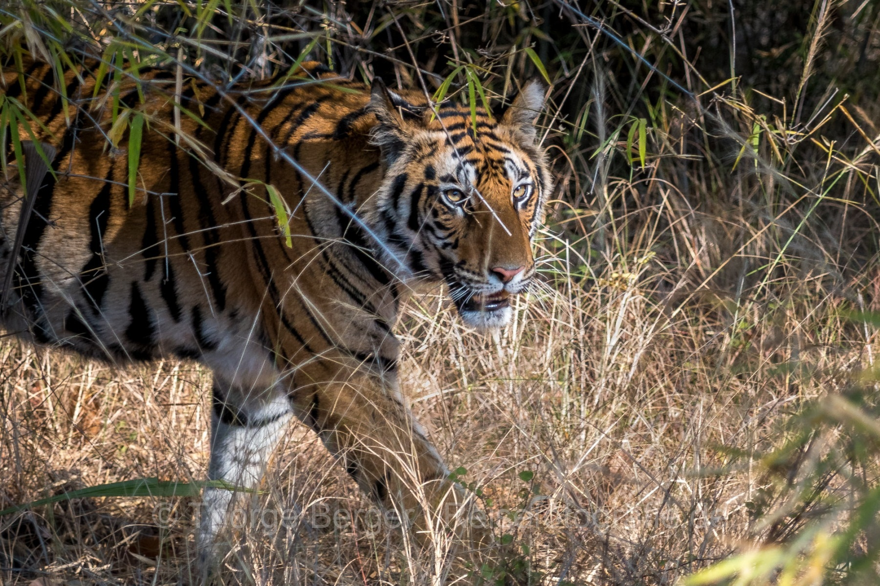 Tiger in Bhandavgarh National Park
