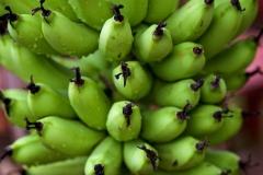 Bananenstaude in Bali, Indonesien