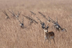 Blackbuck Antilopen im Velavadar Nationalpark, Indien